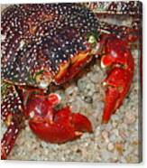 Red Spotted Crab Canvas Print