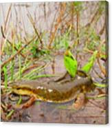 Red Spotted Newt Canvas Print