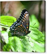 Red-spotted Purple 4172 Canvas Print