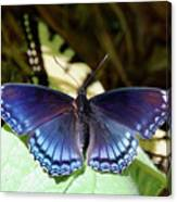 Red-spotted Purple 4257 Canvas Print