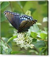 Red-spotted Purple Butterfly On Privet Flowers Canvas Print