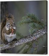 Red Squirrel Having Lunch Canvas Print