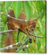 Red Squirrel In The Cherry Tree Canvas Print