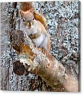 Red Squirrel Maine Canvas Print