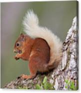 Red Squirrel On Tree Canvas Print