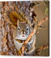 Red Squirrel Pictures 144 Canvas Print