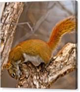 Red Squirrel Pictures 145 Canvas Print