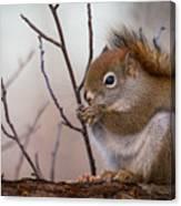 Red Squirrel - Sciurus Vulgaris Canvas Print
