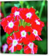 Red Star Flower Canvas Print