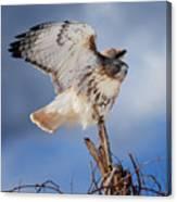 Red Tail Hawk Perch Canvas Print