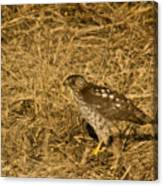 Red Tail Hawk Walking Canvas Print