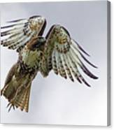 Red Tail Takeoff Canvas Print