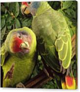 Red-tailed Amazon Amazona Brasiliensis Canvas Print