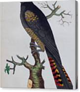 Red-tailed Black Cockatoo 1790 Canvas Print