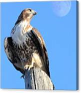 Red Tailed Hawk And Moon Canvas Print