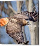 Red Tailed Hawk Flying Canvas Print