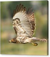 Red Tailed Hawk Hunting Canvas Print