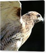 Red-tailed Hawk In Profile Canvas Print