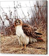 Red Tailed Hawk In The Field Canvas Print
