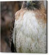 Red-tailed Hawks Canvas Print