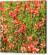 Red Texas Wildflowers Canvas Print