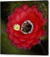 Red Torch Cactus-echinopsis  Canvas Print
