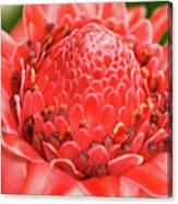 Red Torch Ginger Canvas Print