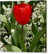 Red Tulip 09 Canvas Print