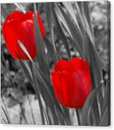 Red Tulip Duo Canvas Print