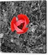 Red Tulip From Above Canvas Print