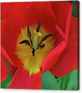 Red Tulip Trio Canvas Print