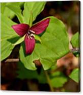 Red Upright Trillium Canvas Print