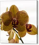 Red Veined Orchid Canvas Print