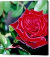 Red Velvet Rose Canvas Print
