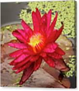 Red Water Lily Canvas Print