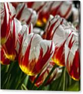Red White And Yellow Tulips Canvas Print