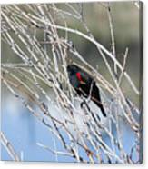Red Winged Black Bird At Chatfield Canvas Print