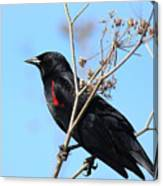 Red-winged Blackbird . 40d5718 Canvas Print