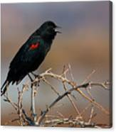 Red Winged Blackbird Call Canvas Print