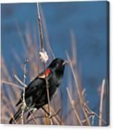 Red-winged Blackbird On Cattail  Canvas Print