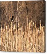 Red Winged Blackbird On Cattails Canvas Print