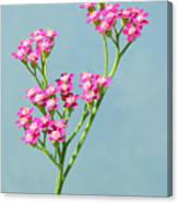 Red Yarrow Canvas Print
