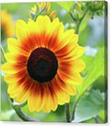 Red Yellow Sunflower Canvas Print