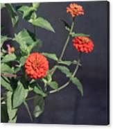 Red Zinnia Flowers Canvas Print