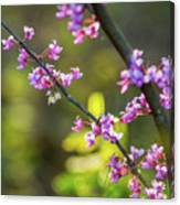Redbud Bloom  Canvas Print