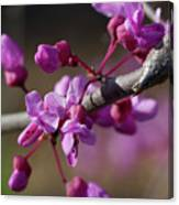 Redbud Blossoms Canvas Print