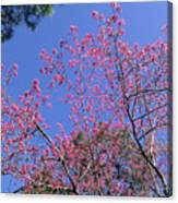 Redbud In Bloom Canvas Print