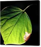 Redbud Leaf Canvas Print