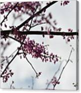 Redbuds In The Mist Canvas Print