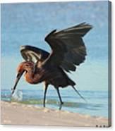 Reddish Egret Nabs A Fish Canvas Print